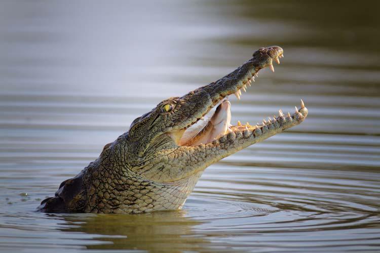 Krokodil Bungee